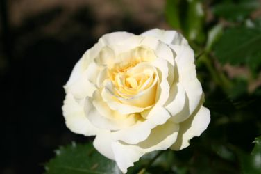 White rose II by Pandate