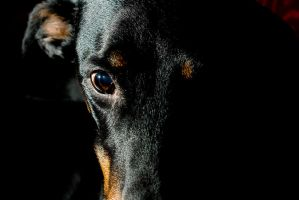 Doberman by mv79