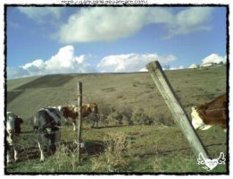 Cows and clouds by lamu1976
