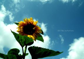 sunflower by all17