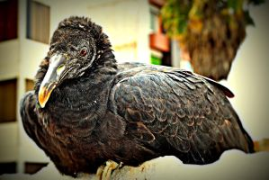 crouching vulture by blackpixifotos