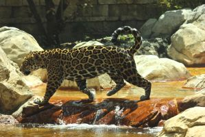 Male Jaguar 3 by RhiskandPeril