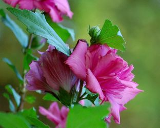 Rose of Sharon ... by time-warrior
