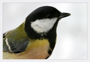 Great tit close up by marble911