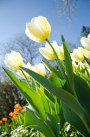 Tulips (4) by Mocris