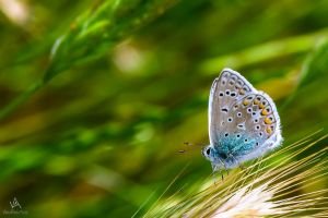 Butterfly Polyommatus Icarus #2 ''surfer'' by VitoDesArts