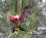 Pink and Grey Galah by BreeSpawn