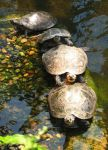 Turtles by Nariane