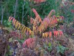 sumac in fall by crazygardener