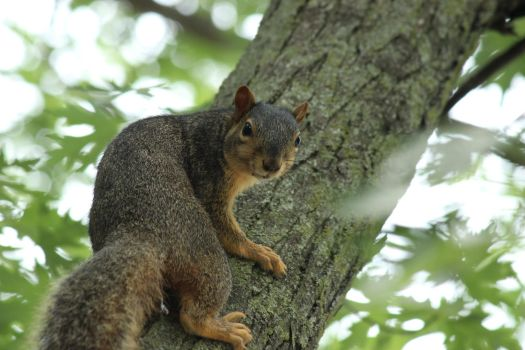 Alerted Squirrel by Toderico