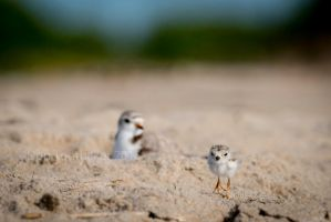 Plover Chick DE73962-1 by detphoto