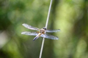 four-spotted chaser (Libellula quadrimaculata) by LoveForDetails