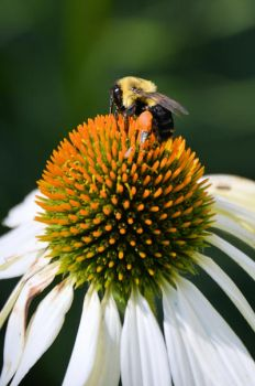 cone flower visitor by camera-buff