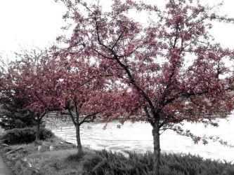 pink trees on bw back by candescere