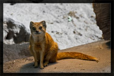Yellow mongoose 01 by deaconfrost78