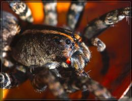 Wolf Spider 40D0029223 by Cristian-M
