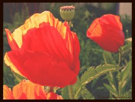 Poppies by Katesmile