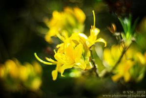 ::yellow flowers:: by Phantom-of-light