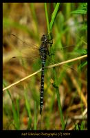 Blue Dragonfly by KSPhotographic