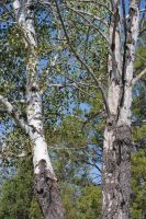 Birch Tree 002 by Mad-Willy