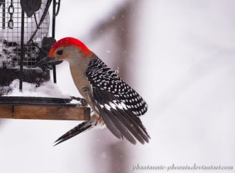 Red-bellied Woodpecker at the Feeder by Phantasmic-Phoenix