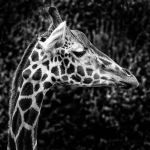Giraffe Portrait by Coigach