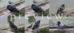 Pigeon Single Pack2 by ManicHysteriaStock