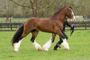 Clydesdale stallion stock by Valkyrie-Stock