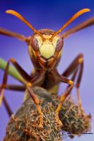 Paper wasp - Polistes major by ColinHuttonPhoto