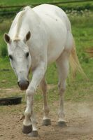 Polo Pony - 15 by Loosends-Stock