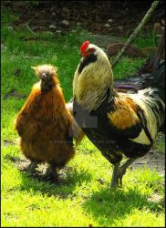 My New Roosters by IrishRaine