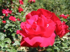 Red Rose by HaMaSeR