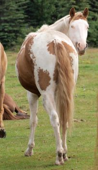 Paint Horse 06 by Eltear-Stock