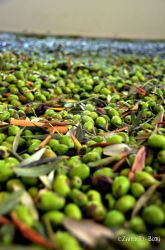 Olives by Bizriart
