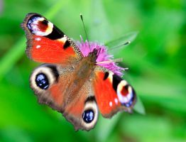 Peacock Butterfly by BusterBrownBB