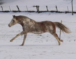 Snow Gallop by JazzyPotter