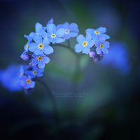 Forget-me-not. by OliviaMichalski