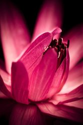 Lotus glow by rguite