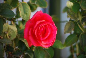 Red Rose 05 by Sageous