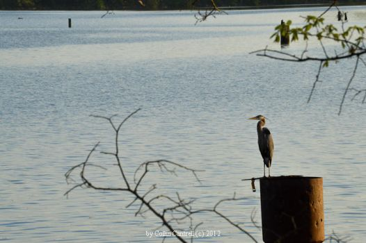 Heron on the Coosa by cvcharger14