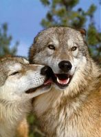 Wolf Kiss by Wolf-Lovers