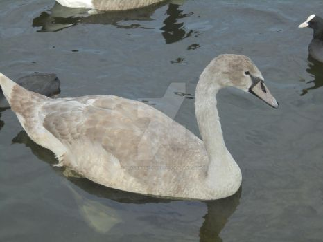Young Swan by blackroselover