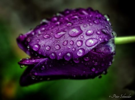 Purple. by Phototubby