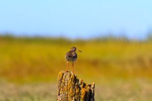 Common Redshank by AngelaLouwe