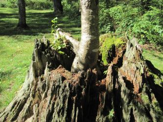 New tree grows from old stump by Lectrichead
