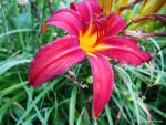 Red Daylily by jim88bro