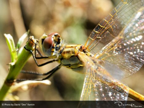 Dragonfly by Doverge