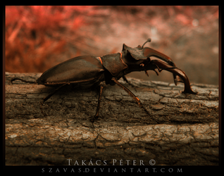 Stag beetle III by Szavas