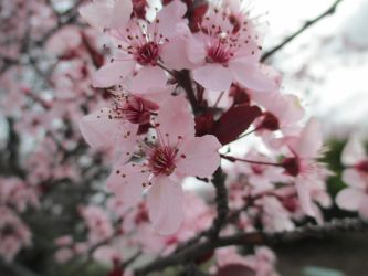 Flowering Plum Blossoms 2 by sanjouin-dacapo