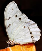 White Butterfly 01 by s-kmp